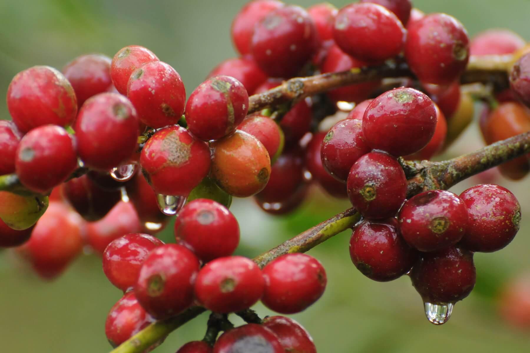 Haessig-und-Haessig-Strawberry-Candy-Kaffee-aus-Äthiopien-9