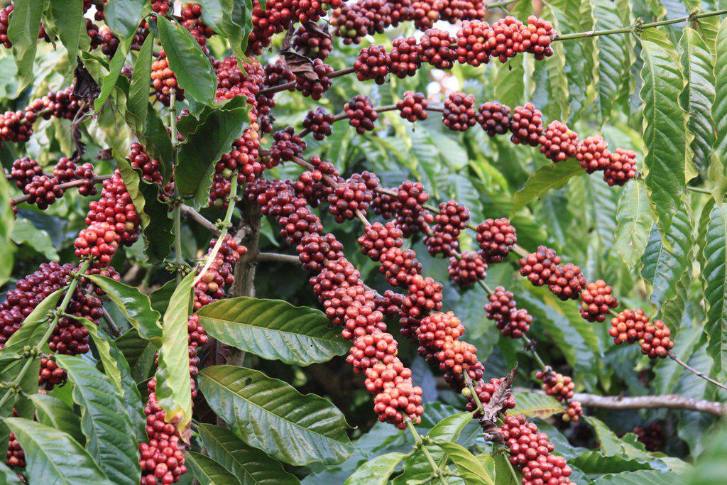 Haessig-und-Haessig-Yety-Kaffee-Bio-aus-Nepal-3